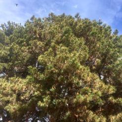 Radiata Pine